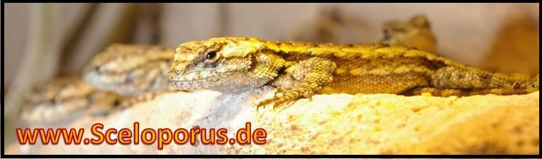 Sceloporus - Stachelleguane